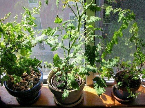 my window sill garden