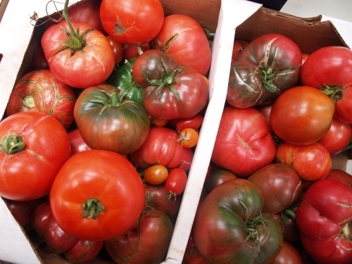 tomatoes at Sycamore Farms